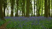 Bluebells at Foxholes Nature Reserve