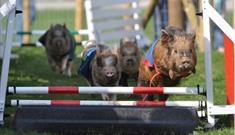 Micro pigs racing at Pennywell Farm.