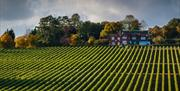 The vineyard at Hambledon