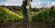 Hambledon Vineyard tours