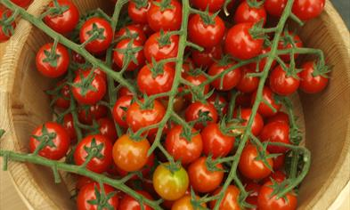 Finnøy produces the most tomatoes in Norway