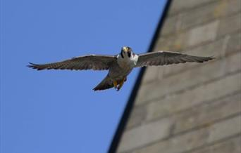 Peregrine falcon flying in Rochdale town centre.