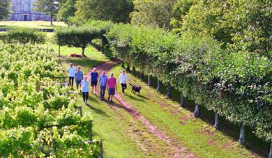 Sharpham Vineyard walk