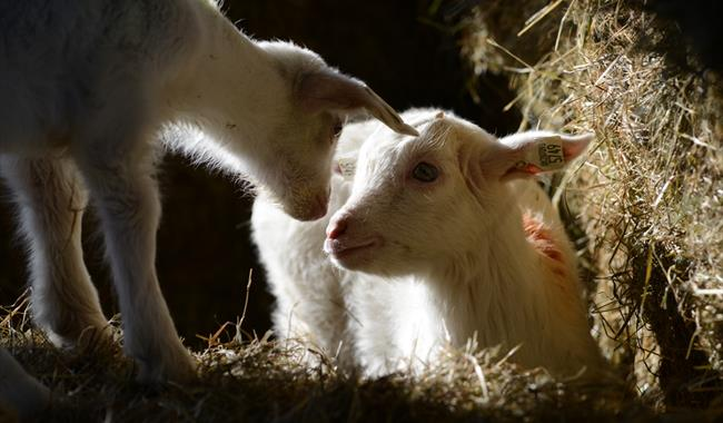 Lambs at Farmer Gow's