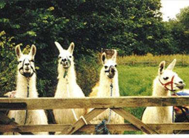 Catanger Llamas