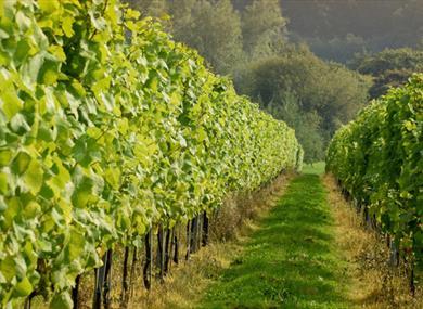 Albourne Estate Vineyard