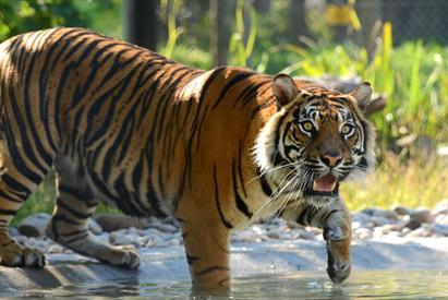 Sumatran Tiger in Water