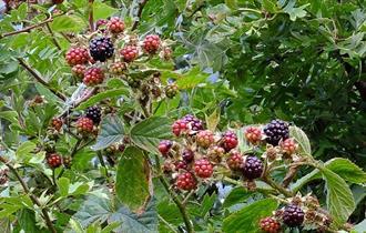 Blackberries in Radford Bank Meadows, photo by Tim Wayne