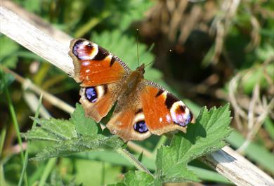 Polesden Lacey will launch a new self-led Butterfly Walk