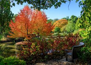 Autumn coloured leaves on an Nyssa sylvatica _Wisley Bonfire_, at RHS Garden Wisley.  Credit: RHS / Oliver Dixon