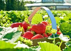 Garsons Esher, Surrey pick your own strawberries