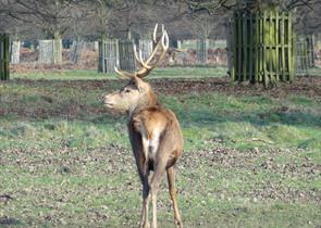Deers in Bushy Park