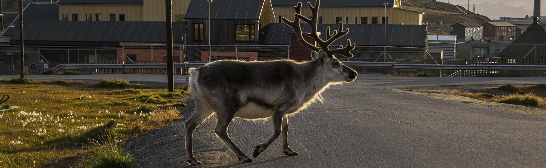 Svalbardreinsdyr