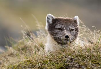 Fuglefjella: Fottur til Bjørndalen og fuglefjella - Svalbard Wildlife Expeditions