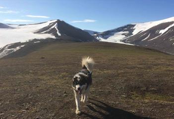 A dog walking along the plateu on the mountain Sarkofagen