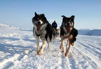 Løpende hunder