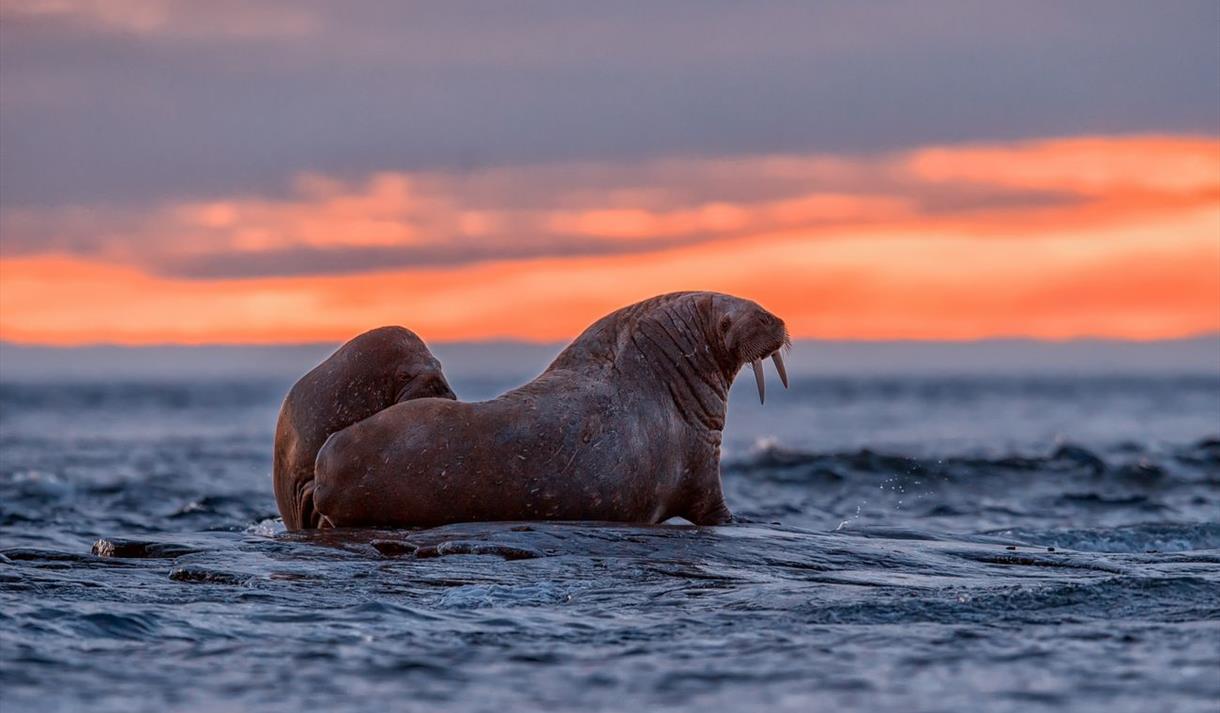 To hvalrosser på et skjær i solnedgang