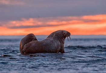 Two walruses on coastal rocks during a sunset