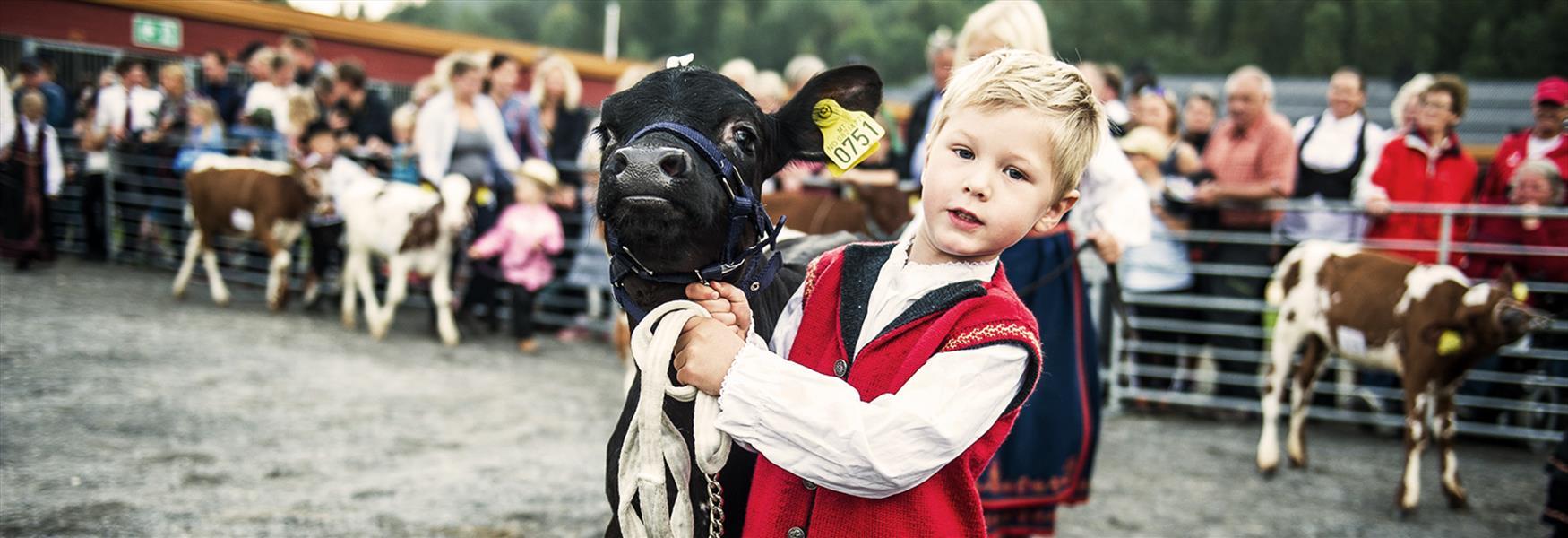 Liten gutt som presenterer kalven sin på Dyrsku'n i Seljord i Telemark
