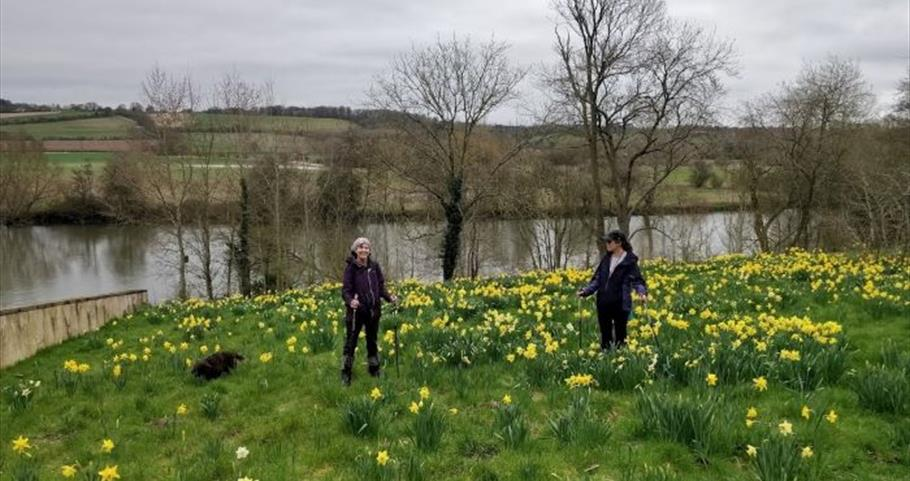 Daffodils at Culham Court Aston, River Thames (A Foot in the Chilterns)