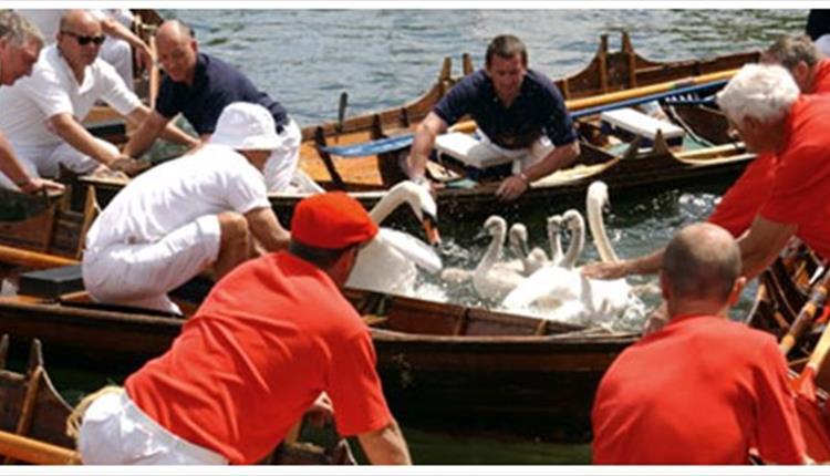 Swans being checked at Royal Swan Upping