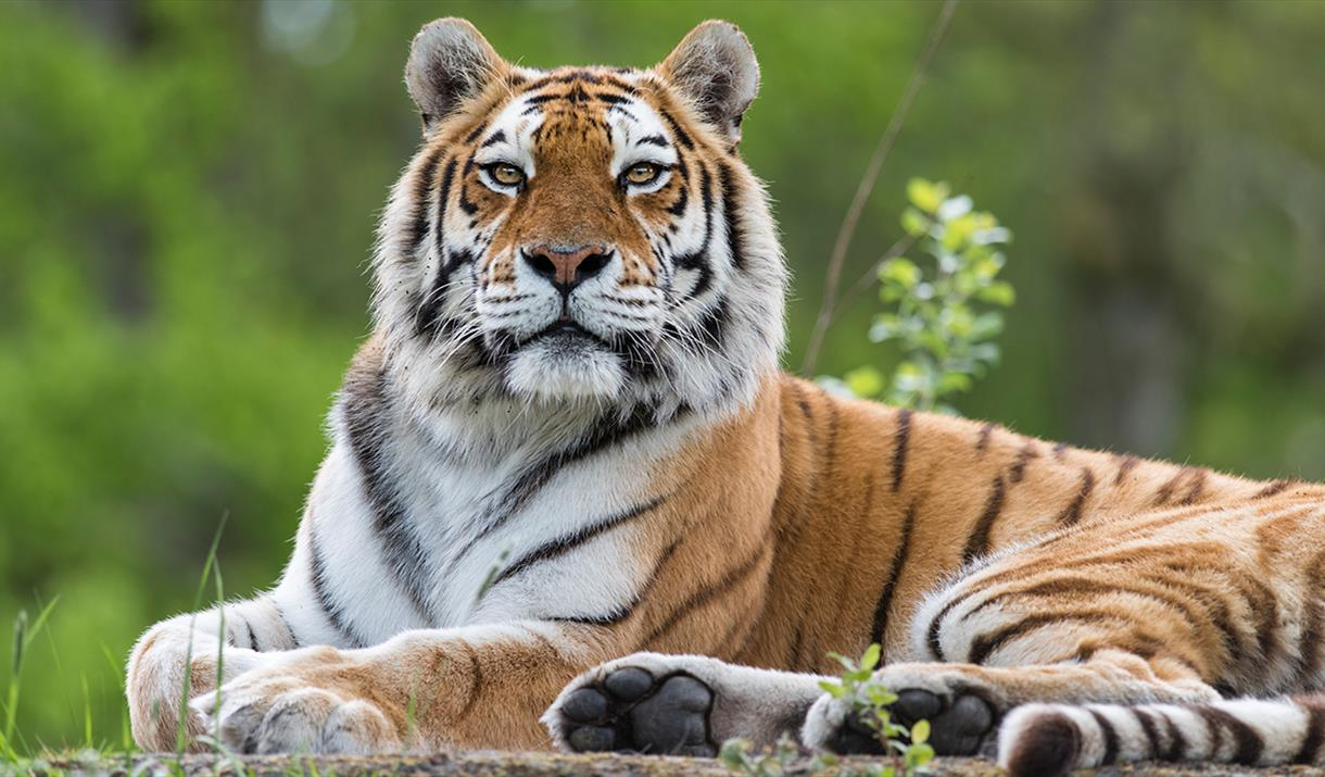 Tigers at Longleat