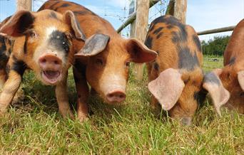 Cholderton Rare Breeds Farm - Pigs