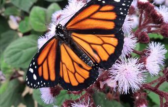 Orange butterfly on pink flowers