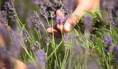 Wolds Way Lavender has over 120 varieties of lavender on display. We use the lavender in a variety of products from honey, preserves to our famous lav