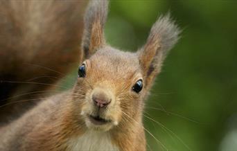 Red Squirrel, British Wildlife Centre