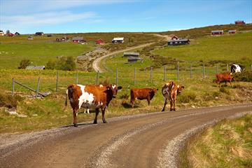 Kyr på stølsveien som svinger seg opp lia ved Gauklie.
