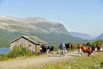 Syklist blant kuer langs Mjølkevegen med fjell i bakgrunnen.