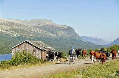 Cyclist amidst cattle along a sumemr mountain farm road.