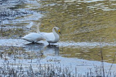 A pair of Whooper Swans (Cygnus cygnus) in the shore zone with some aquatic vegetation.
