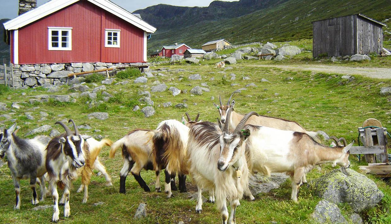 Sparstadtrøe summer mountain farm in Vang, Valdres, Norway.