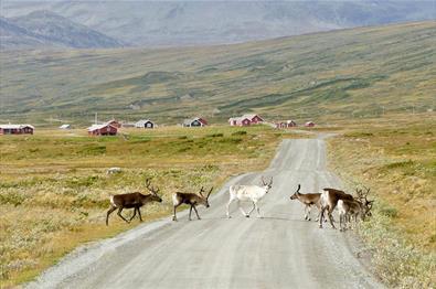 Rentiere kreuzen eine Schotterstraße in offener Berglandschaft. Im Hintergrund kann man rote Almhütten sehen.