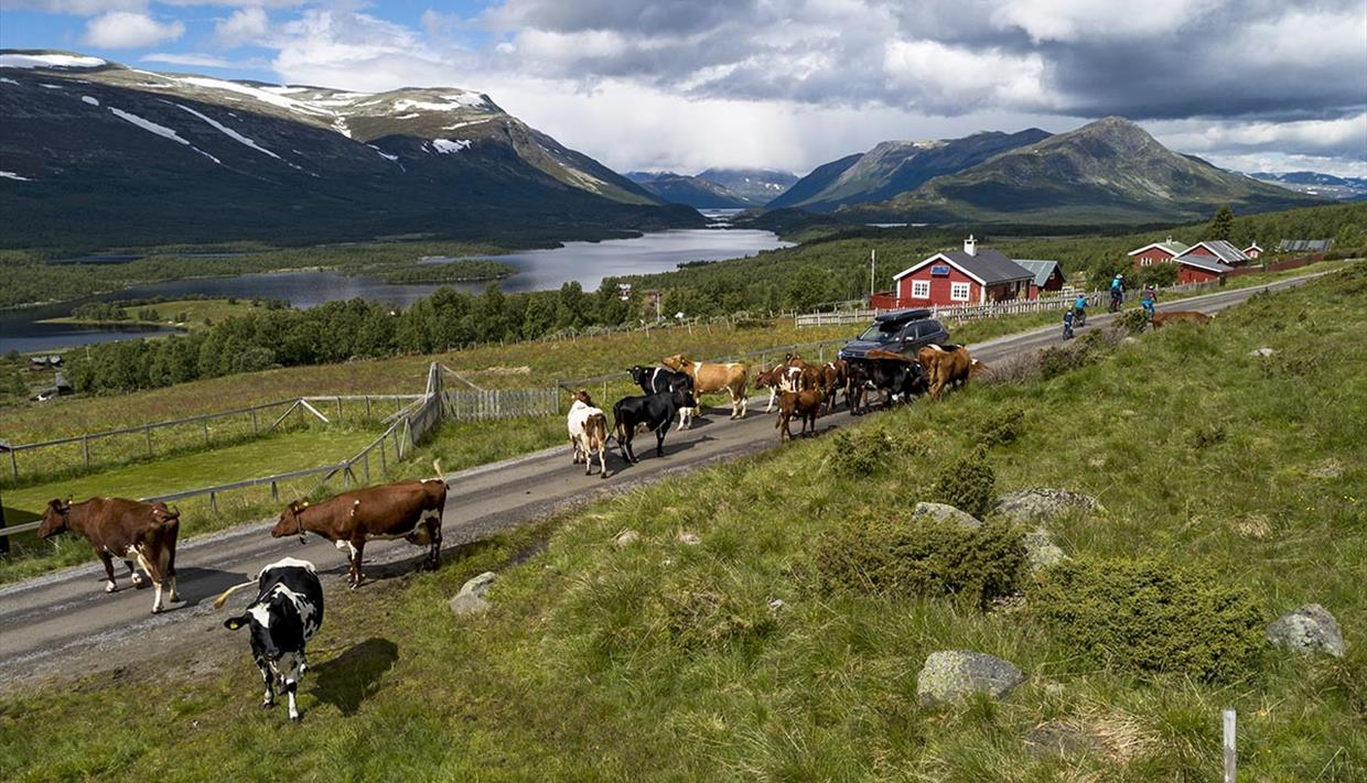 Cyclists amidst cattle in a farming area with a lake and mountains in the background.