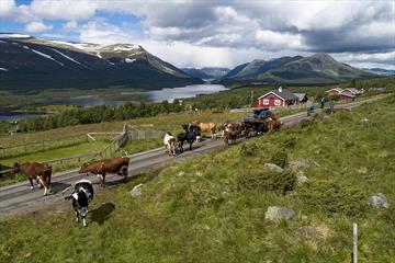 Syklister i stølsområde med kyr på veien. En innsjø og fjell ses i bakgrunnen.