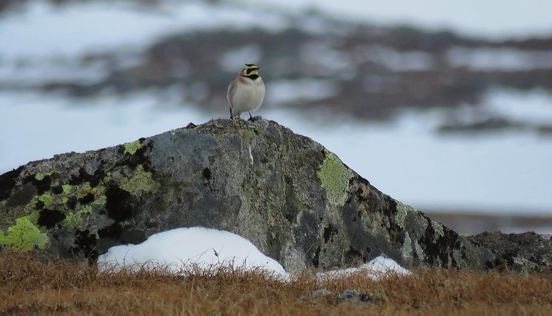 Fjellerke (Eremophila alpestris) er en av karakterfuglene på Valdresflye.