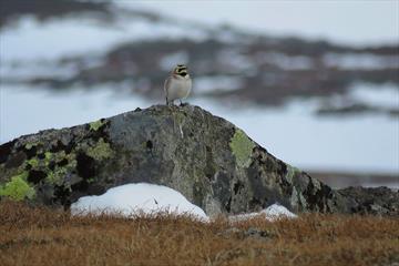 The Shore Lark (Eremophila alpestris) is one of the key species on the high mountain plateau Valdresflye.