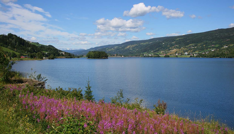 Geitrams blomstrer langs bredden av Strandefjorden. Blå er vannet, og blå er himmelen.