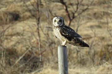 Short-eared owl on a fence pole in evening light