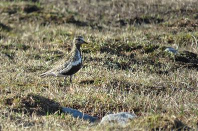 Der Goldregenpfeifer (Pluvialis apricaria) ist ein Brutvogel der Tundra. I Valdres kann er auf hochliegenden Flächen wie z.B. der Valdresflye und dem Slettefjellet beobachtet werden.