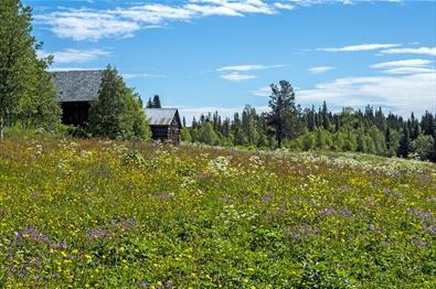 Wildflower meadow along the Kings's Road over Tonsåsen