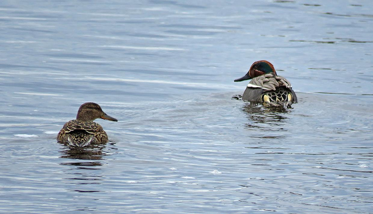 Eurasian Teal (Anas crecca), female on the left and male on the right. It is our smallest duck and breed in lakes and ponds in forests but also small