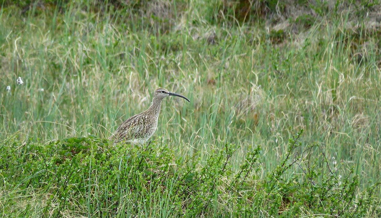 Der Regenbrachvogel brütet im Oppsjømyra Naturreservat.