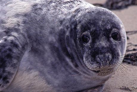 Hilbre Island seal