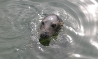 Seal at West Kirby