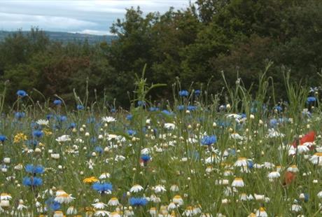 Ness Wildflowers