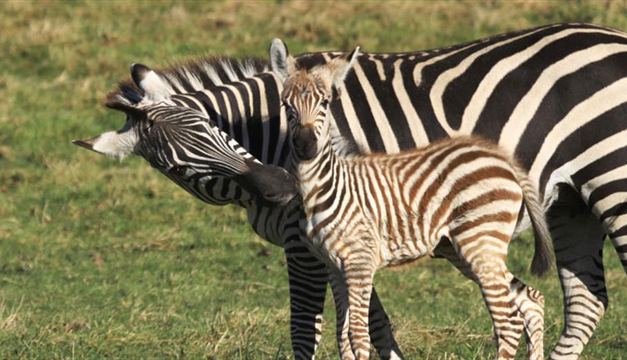Zebra at Longleat